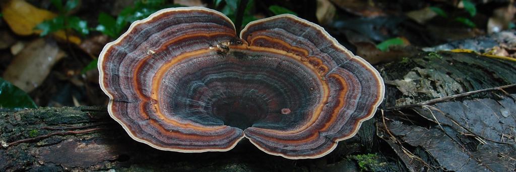 Microporus affinis