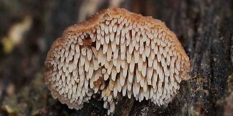 Second population of lost Earpick fungus found