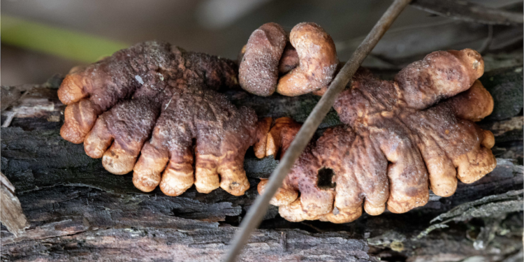 Australia's rarest fungus discovered clinging to life on French Island